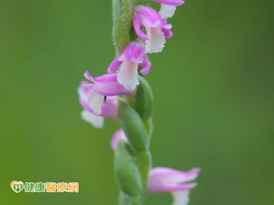 抗氧化祕寶—綬草,來作為回溯肌齡的良方